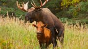 moose-cow-humping